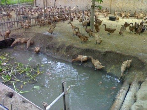 kolam pada kandang bebek